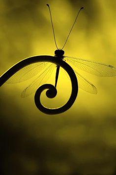 Belle ailée en or et noir. / Dragonfly. / Libellule.