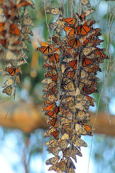 photo of monarch butterflies