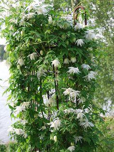 Atragene-klematis 'White Swan' White Swan, Green Garden, Backyard, Leaves, Plants, Climbing, Inspiration, Backyard Farming, Compost