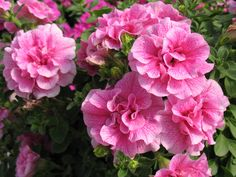Petunia 'Double Wave Pink'