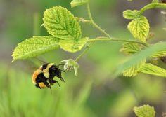 Bee samples a raspberry blossom
