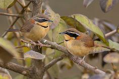 Foto tapaculo-de-colarinho (Melanopareia torquata) por Eduardo Franco   Wiki Aves - A Enciclopédia das Aves do Brasil
