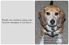 """Hi, my name is Bogart. I used to be a research lab Beagle, only known as # 5989418, until the Beagle Freedom Project saved my life. Read more about my journey in the """"About"""" section of my very own Facebook page at https://www.facebook.com/BogartSavedByTheBeagleFreedomProject/info. To learn more about the Beagle Freedom Project, visit beaglefreedomproject.org. Love, Bogart Selcer Phoundoulakis"""