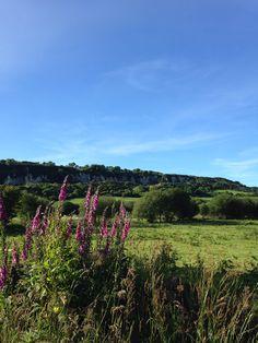 Foxglove. Carnlough, Northern Ireland.
