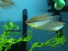 Los gouramis perla, son uno de los peces más elegantes del acuario de agua dulce, son pacíficos.#gouramis #peces #acuarios