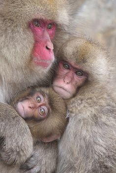 And Macky makes three...(Japanese macaques)