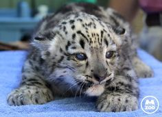 First snow leopard in over a decade at Memphis Zoo.