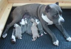 pitbulls awe zero would have such cute puppies. If only people were mean to pitbulls :/ Pitbull Puppies For Sale, Cute Puppies, Cute Dogs, Dogs And Puppies, Doggies, Pitbull Pics, Beautiful Dogs, Animals Beautiful, Cute Animals