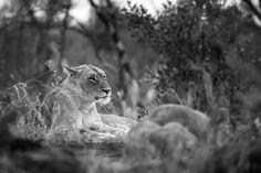 05mike-palmer-lioness-010516-2 Visit SA: http://www.savisas.com/