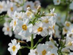 Etagen-Schlüsselblume 'Alba' - Primula japonica 'Alba'