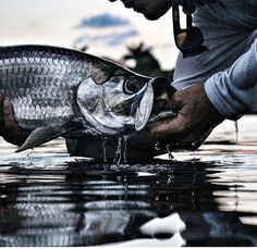 Reel Life Pro Staffer Capt. Marko with a solid Tarpon! #reellife #letsgetreel #nextbigthing #tarpon #florida #inshorefishing #fishing