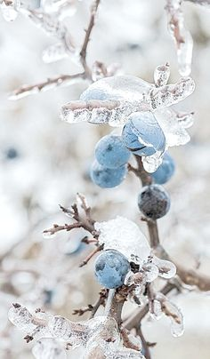 Winter *❄~*.Wishes & Dreams.*~❄* Iced Berries & Sparkling Boughs