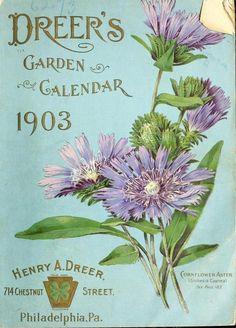 Cornflower Aster. Dreer's Garden Calendar 1903. Henry A. Dreer. 714 Chestnut Street, Philadelphia, Pa. U.S. Department of Agriculture...