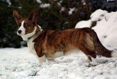 A brindle Cardigan Welsh Corgi! Corgi Husky, Corgi Mix, I Love Dogs, Cute Dogs, Corgi Breeds, Animal Room, Cardigan Welsh Corgi, Different Dogs, Pembroke Welsh Corgi