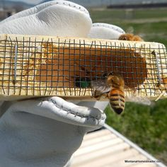 Harvesting Honey from Bee Hives Decrystallize Honey, Harvesting Honey, Bee Traps, Bee Supplies, Bee Boxes, Bee Farm, Bee Friendly, Places In Europe, Bees Knees