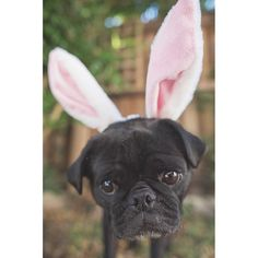 This week's pug photo challenge theme is all about Easter. So let's see those adorable Easter photos I know you've all been taking. Just tag them #tpdeaster2016 #thepugdiary
