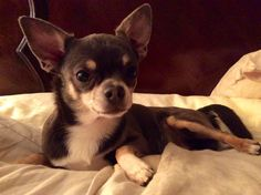 American Dog, Pet Treats, Chihuahua, Fur Babies, Boston Terrier, Dog Breeds, Mom, Pets, Animals