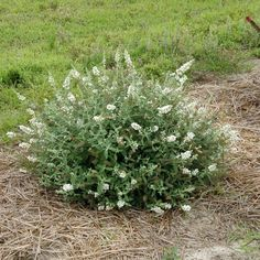 Lo & Behold® 'Ice Chip' Butterfly Bush Buddleia, non invasive dwarf variety.