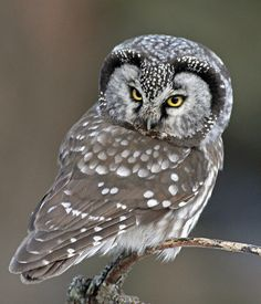 My neighbor, John Wright, took this exquisite photo of a boreal owl who was hunting for voles at his bird feeders