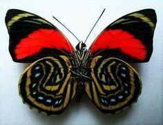 Der Wirbelsturm Schmetterling