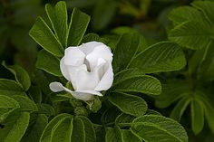 And just to finish off with some color here's a white (alba) Rosa Rugosa or beach rose or Nantucket rose.
