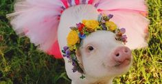 Rescue Pigs Wear Fashionable Flower Crowns To Improve Their Chances Of Being Adopted