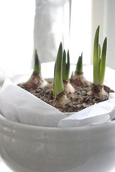 winter whites--Start bulbs by mid-November.  They need 6 weeks.