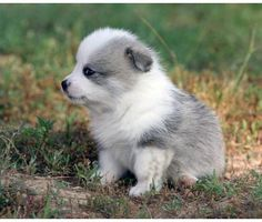 Borgie Dogs For Sale