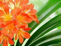 Klívie je velmi nenáročná pokojová rostlina, která snese i občasné sucho a méně světla. Ale pokud se chcete dočkat krásných velkých květů, je třeba určitá pravidla pěstování dodržet. Gardening Tips, House Plants, Flora, Home And Garden, Hacks, Plants, Lawn And Garden, Indoor House Plants, Foliage Plants