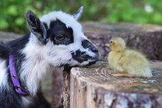 Goat & little chick