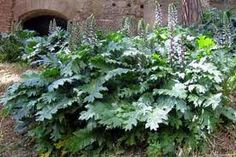 Acanthus - I'd like to get this for my stonewall bed.