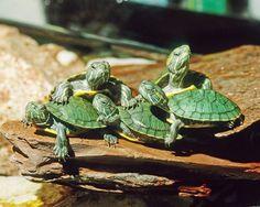 Slider Turtle! They look cute!