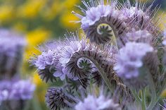 Lacy Phacelia, Wildflower, Garden Flower Seeds, Attracts Bees and ...