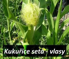 kukurice-jako-bylinka-kukuricne-vlasy-ucinky-na-zdravi-co-leci-pouziti-uzivani