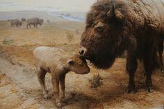 babi buffalo