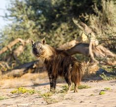 It's Saturday morning- the Strandwolf is out ...... . . . . . . . The brown hyena- Hyaena brunnea one of the animals you might see on a Wilderness Safaris expedition through the remarkable Namibian landscape .... wilderness safaris #african_portraits #safariafrica #endeckeafrica #greatesttravels
