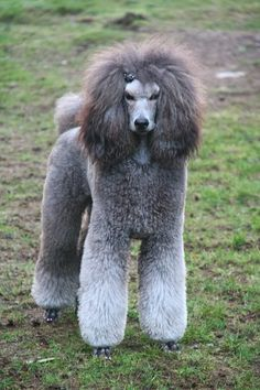 Zora pictures 🙂 – Page 3 – Poodle Forum – Standard Poodle, Toy Poodle, Miniature Poodle Forum ALL Poodle owners too! Zora pictures 🙂 – Page 3 – Poodle Forum … Read Positive Dog Training, Basic Dog Training, Training Dogs, Poodle Grooming, Dog Grooming, Silver Poodle, Poodle Cuts, Dog Behavior, Dogs And Puppies