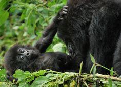 """Gorillák a ködben"", avagy Uganda és Ruanda - Világutazó Magazin Rwanda Travel, Africa Travel, Volcano National Park, National Parks, Safari Holidays, Mountain Gorilla, Safari Adventure, Park Around"