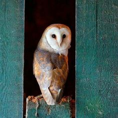 """Barbara Lennard Scott (@silverinthebarn) on Instagram: """"""""Like all barn owls, the baby smelled like maple syrup but not as sweet, something closer to…"""""""