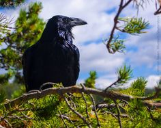 New peer-reviewed study casts doubts on justification for plans in #Idaho, #Utah, #Wyoming, and #Nevada to kill Common Ravens in order to protect sage grouse. The study indicates that raven, crow, and magpie removal programs tend not to benefit prey populations.  Read the study: http://onlinelibrary.wiley.com/doi/10.1111/ibi.12223/pdf