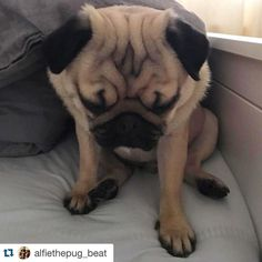 Sunday mood with Alfie #Repost @alfiethepug_beat with @repostapp.  It's Sunday why is everyone up so early???!!!!!  Hope you have a good day (and your humans aren't all up at silly o'clock too !) #purepugspp #pug #pugs #pugsofinstagram #pugbasement #pugsproud_feature #badasspugclub #bubblebeccahat #cupcake_pug #dailydoseofpugs #eddthepug #flatnosedogsociety #gilesfriends #heyportiapickme #henrys1inamillion #itslolathepug #lolasfotw #lacyandpaws #mysquishyliciousfriends #puglife #speakpug…