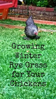 Tips on growing winter rye grass for backyard chickens. Rye grass is a great nutritional supplement for your urban chickens through the winter. Chicken Garden, Chicken Life, Backyard Chicken Coops, Chicken Coop Plans, Building A Chicken Coop, Chicken Runs, Chicken Houses, Growing Chicken Feed, Chicken Tractors