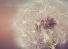 SunKissed Dandelion. Abstract Photography