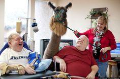 Therapy Llamas and Elderly Patients   ExposureGuide.com