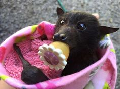 The Occasional Bat flying fox bat with binky! Cute Creatures, Beautiful Creatures, Animals Beautiful, Cute Baby Animals, Funny Animals, Bat Flying, Baby Bats, Fruit Bat, Cute Bat