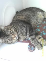 Arnold is a Domestic Short Hair.  He has the cutest face and is very kind.  He is a playful 6 year old cat. He loves a good tummy rub and to play. http://www.petfinder.com/petdetail/23665080#