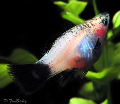 Betta Aquarium, Freshwater Aquarium Fish, Platy Fish, Aquarium Ideas, Guppy, Beautiful Fish, Tropical Fish, Marine Life, Fish Tank