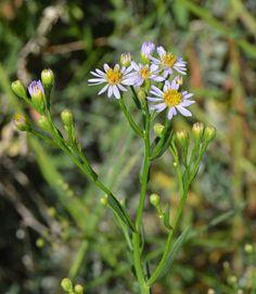 Aster tripolium subsp. pannonicus