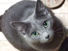 russian blue. i want one!!