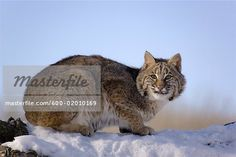 Bobcat sitting Stock Photos - Page 1 : Masterfile Photo Search, Royalty Free Photos, Art Reference, Stock Photos, Cats, Illustration, Artist, Animals, Image